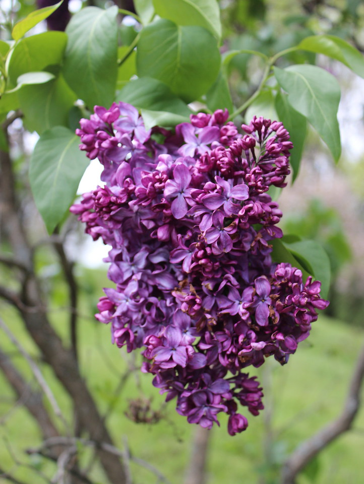 Lilac in Bud