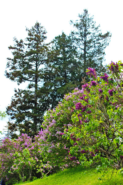 Purple and Pink Lilacs