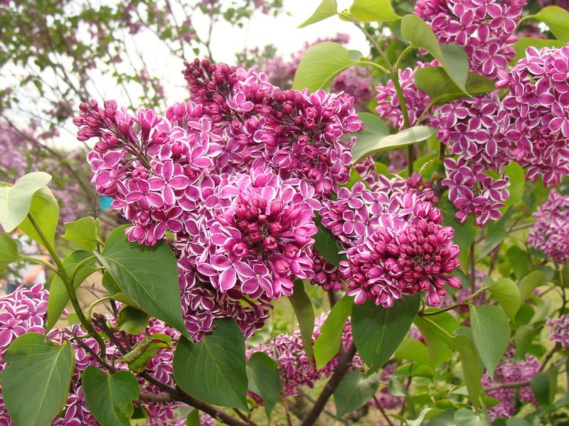Sensation Lilacs at the Lilac Festival