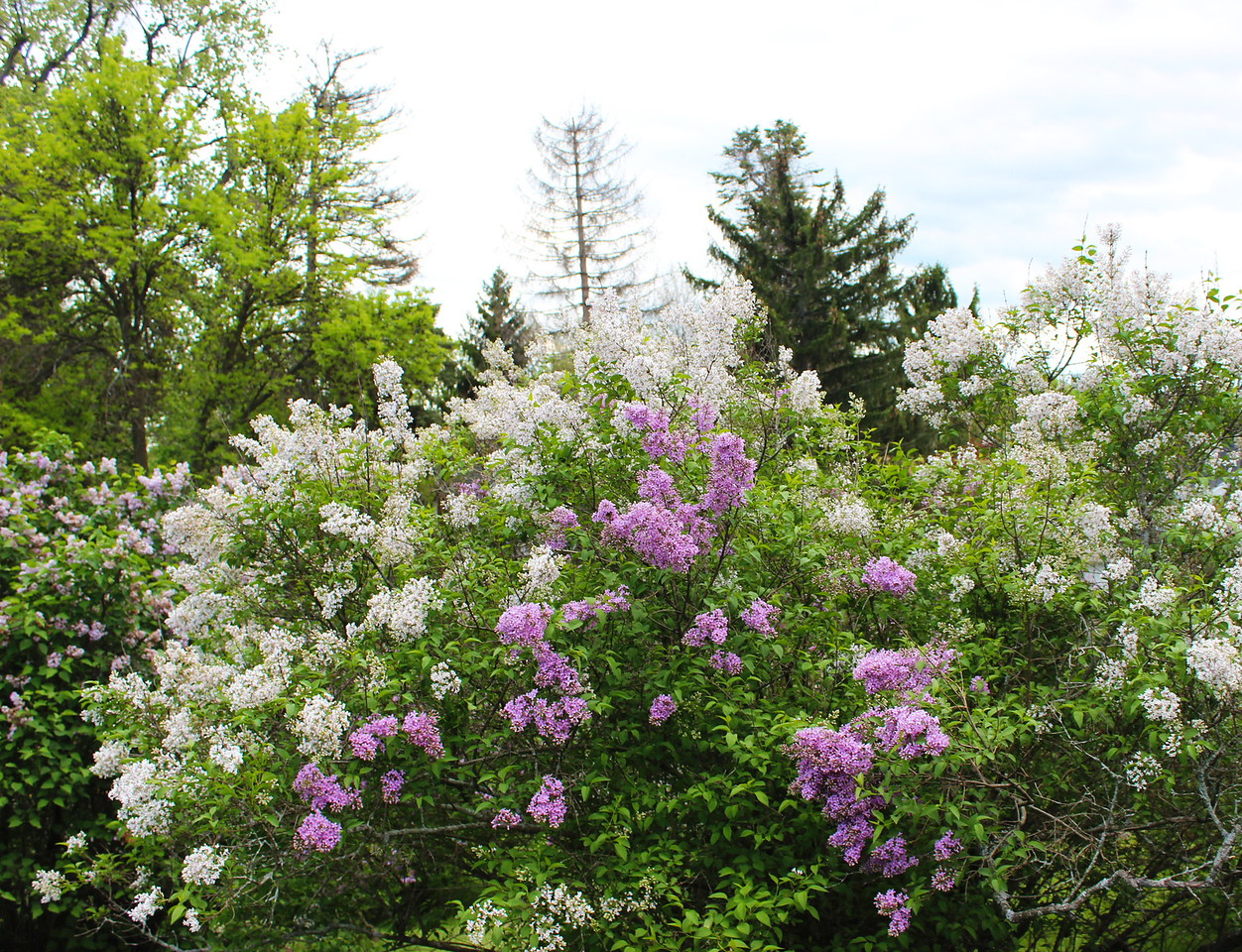 White and Pink Lilacs
