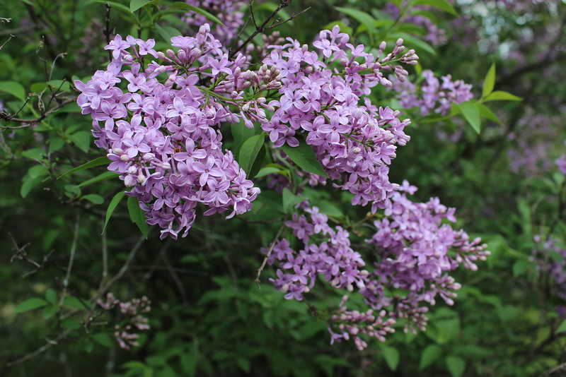Lavender Lilac Blooms