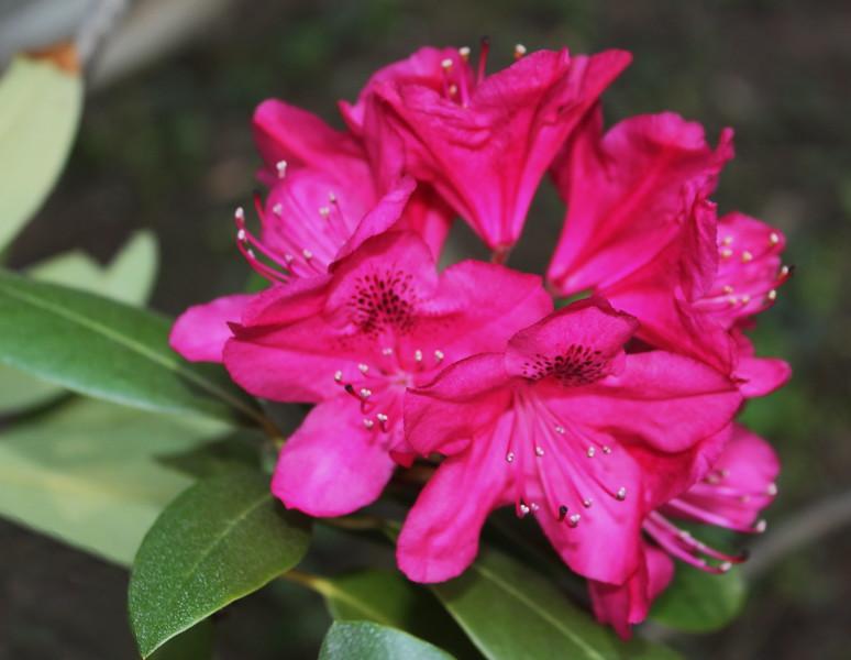 Nova Zembla Rhododendron Blossom