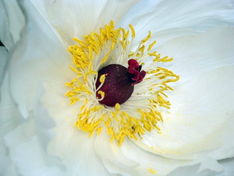 White Tree Peony Blossom