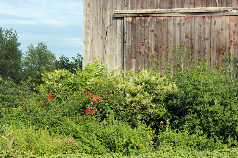 Barn with Red Rose Bushes