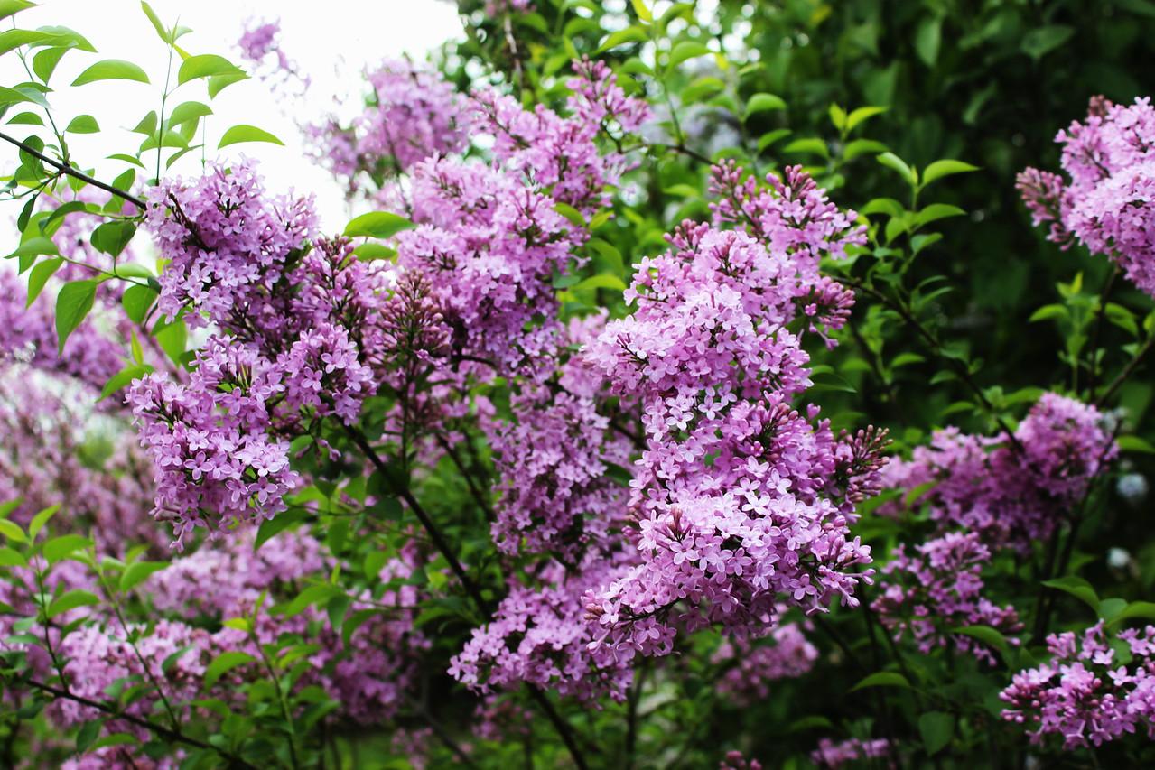 Abundance of Lilacs