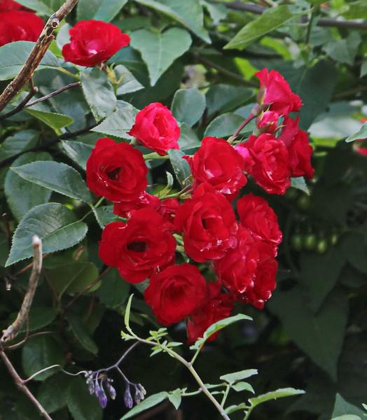 Red Rose Bush at the Barn