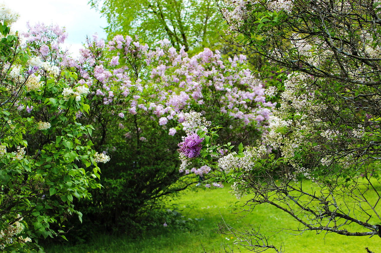 Lilac Sprays