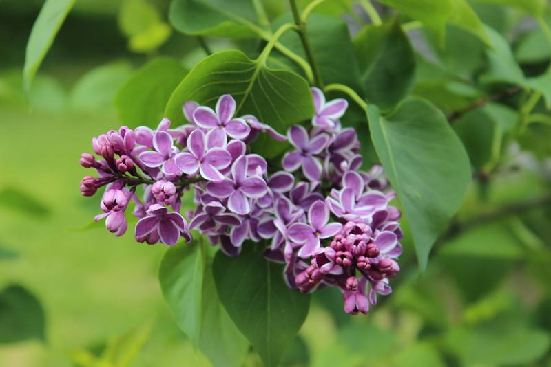 Sensation Lilac Cluster