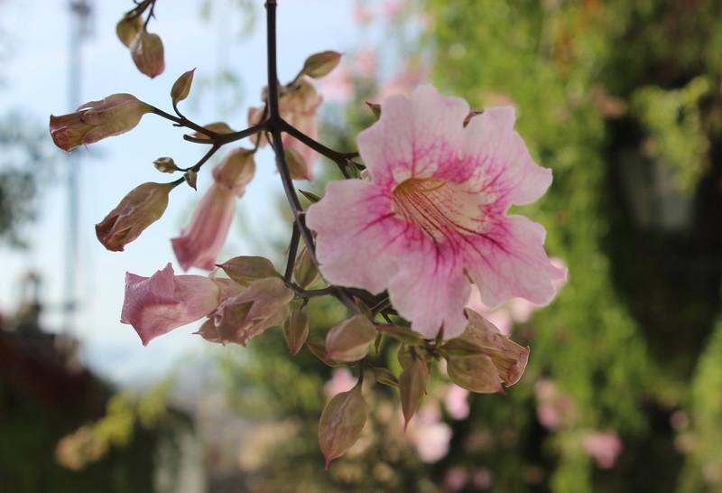 Hibiscus, Hibiscus