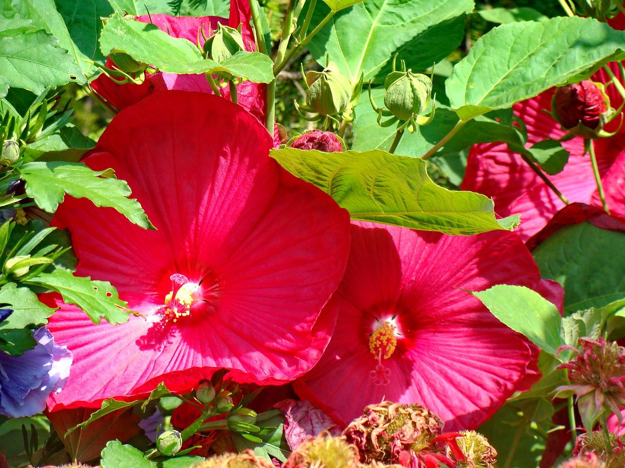 Red Hibiscus Bush