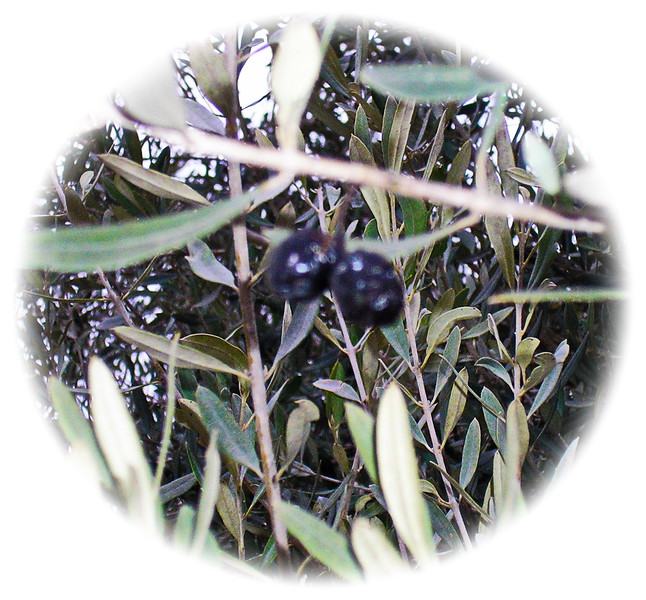 Ripe Black Olives