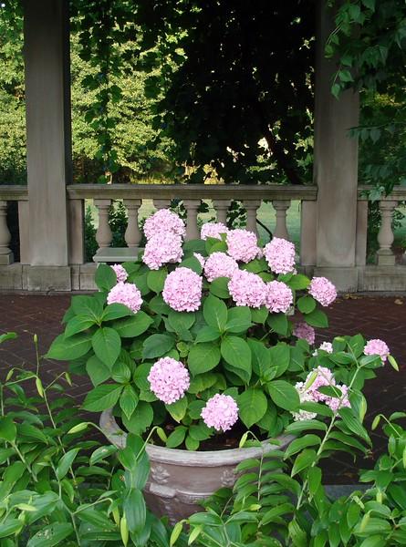 Potted Pink Geranium