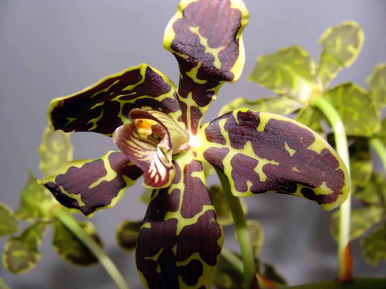 Grammatophyllum scriptum hybrid Orchid
