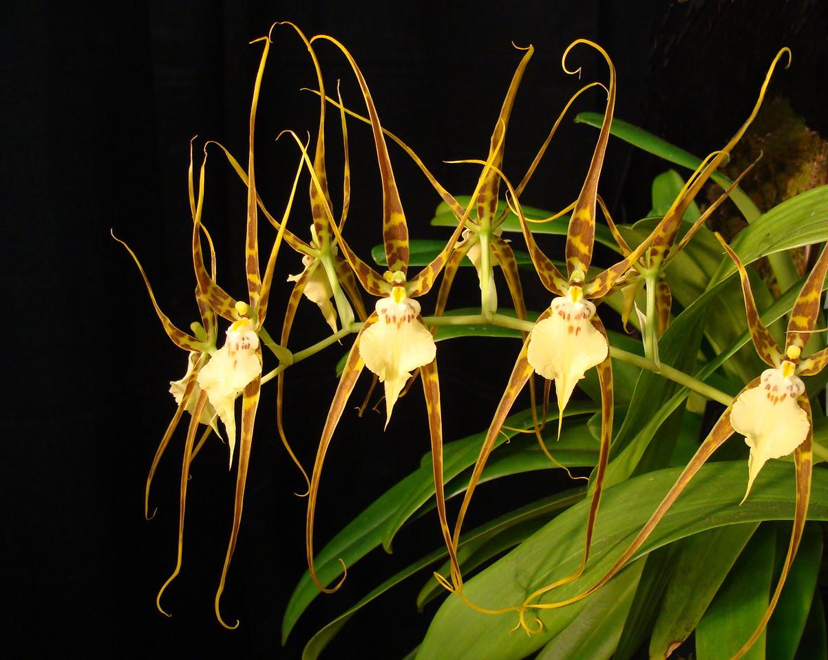 Brassade Curly Locks Orchid