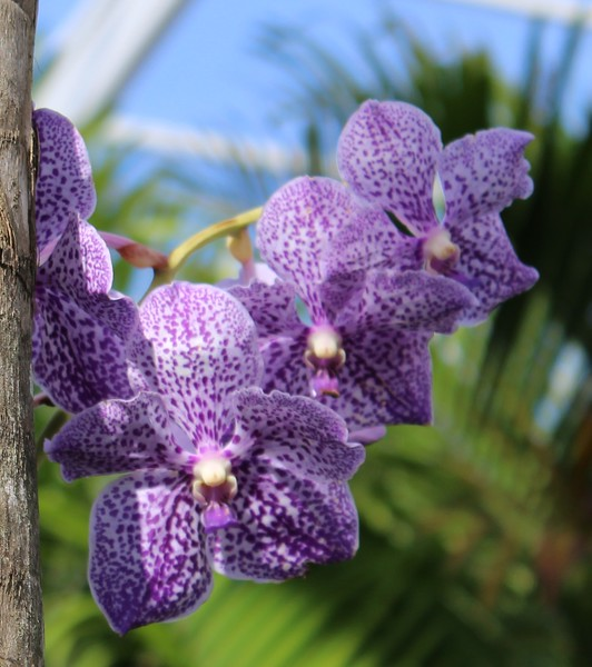 Purple Speckled Orchids