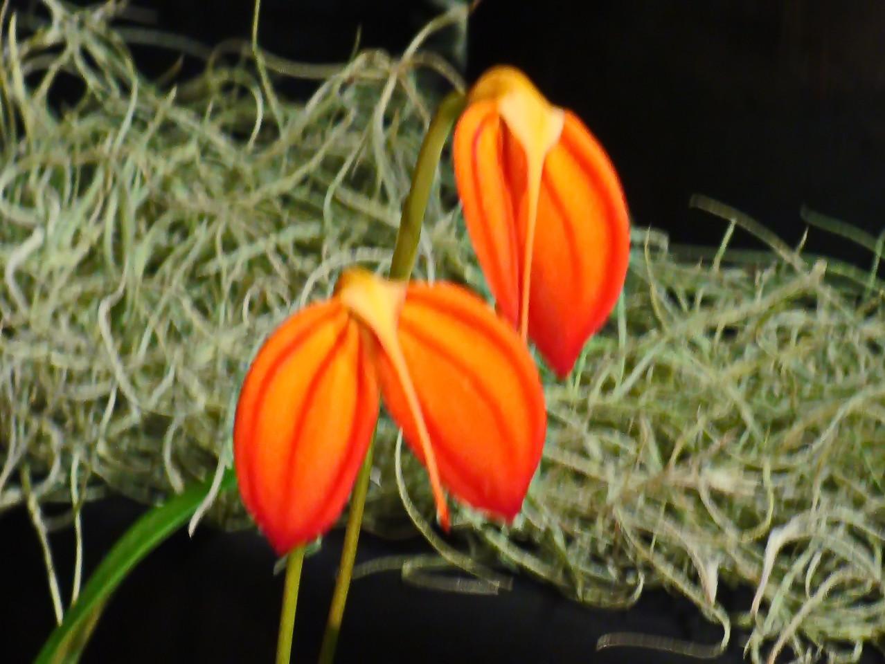 Orange Masdevallia Ignea Orchids