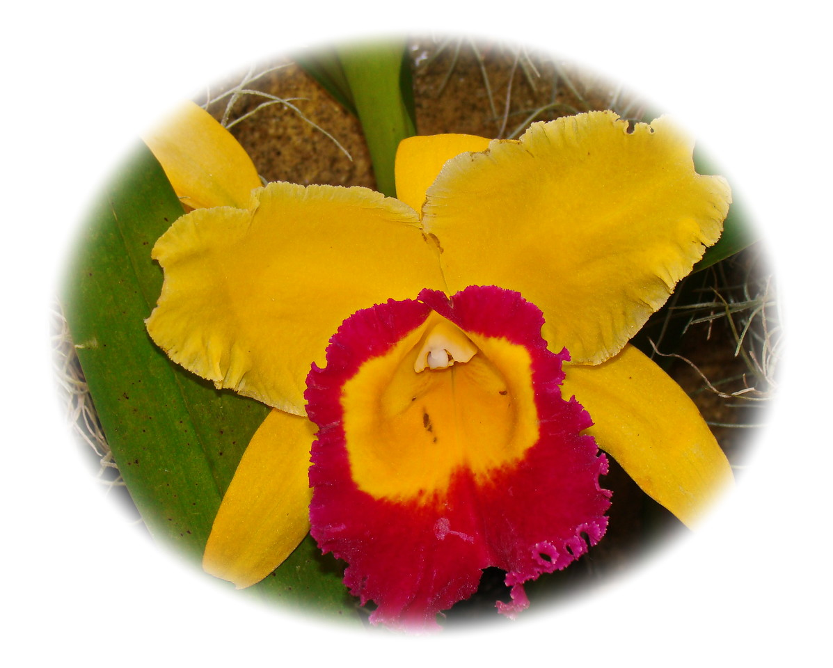 Yellow and Red Cattleya Orchid