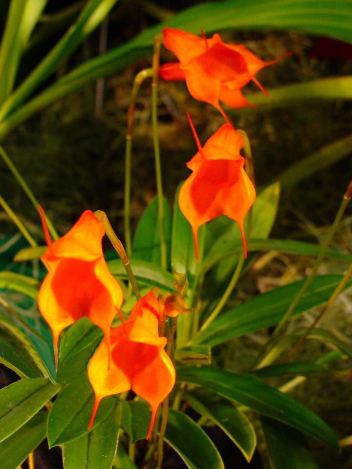 Masdevallia Tangerine Dragon Orchid
