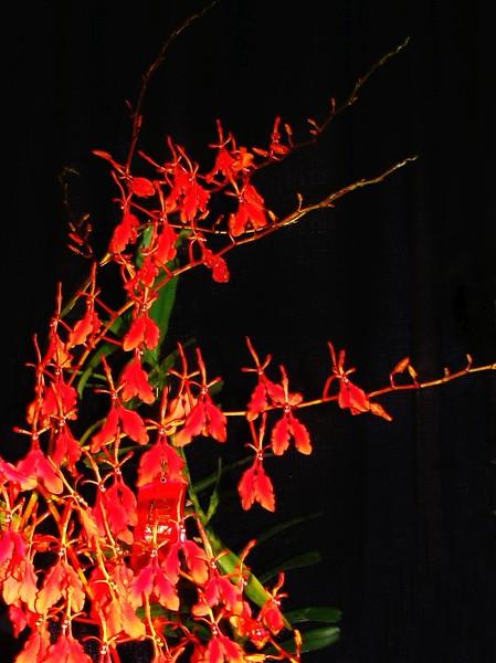 Renanthera imschootiana Orchid