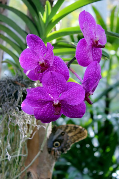 Fuchsia Orchid with Blue Morpho Butterfly