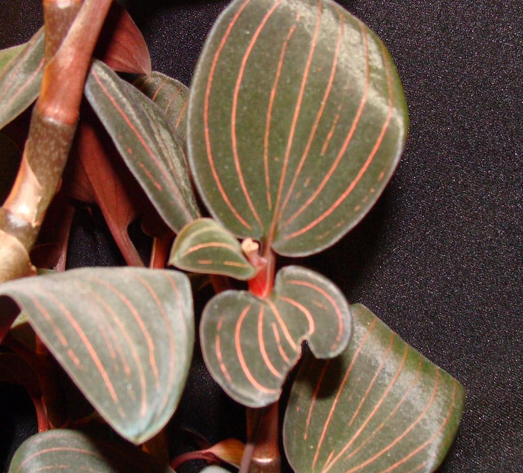 Ludisia discolor Orchid