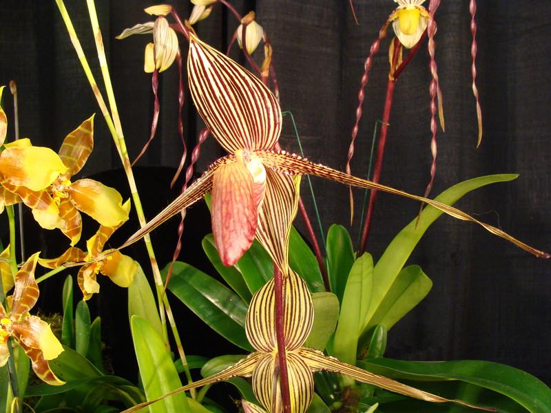 Rothschildianum Paph. Orchid