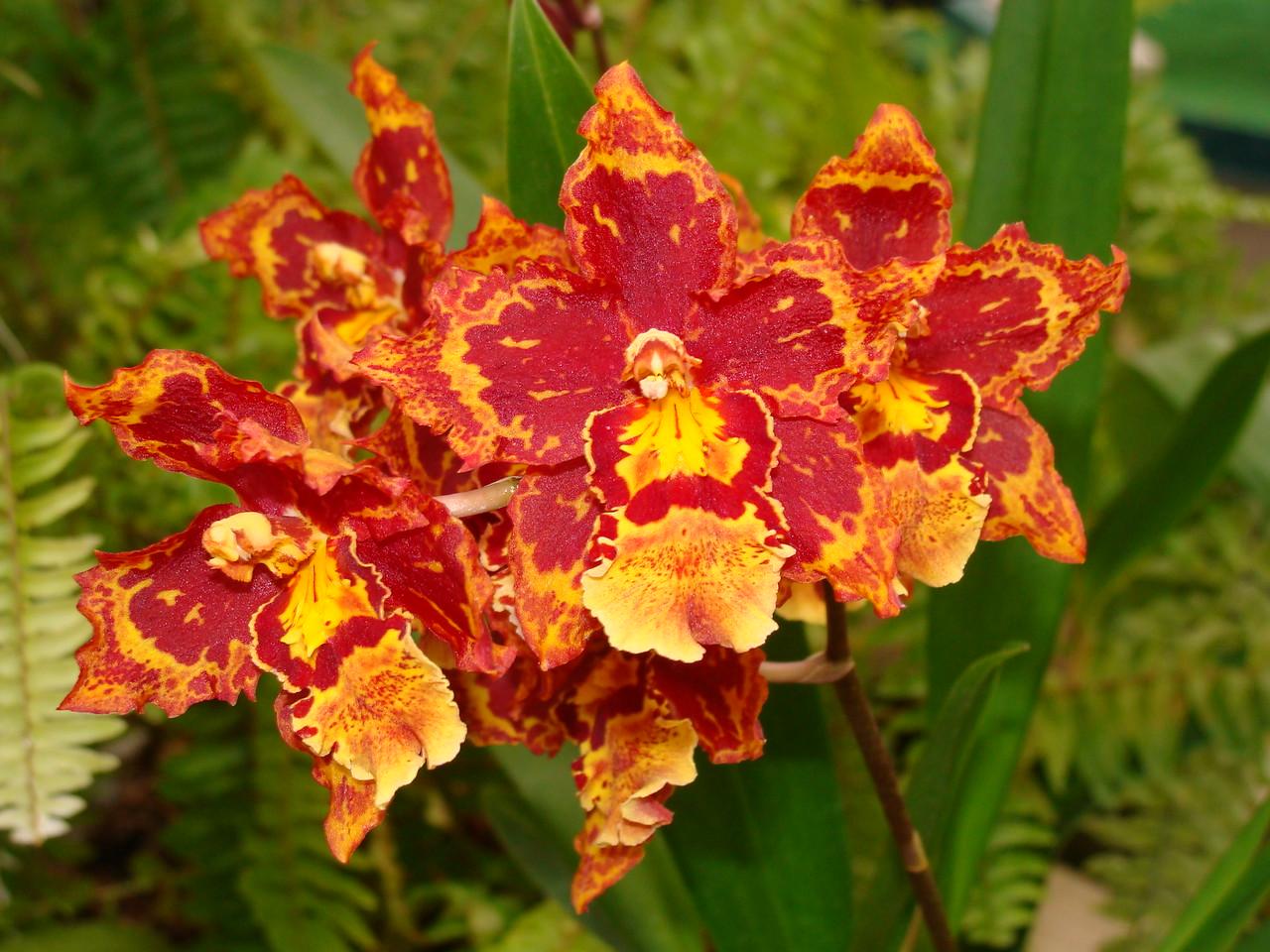 Sheila Ann Wils. Orchid