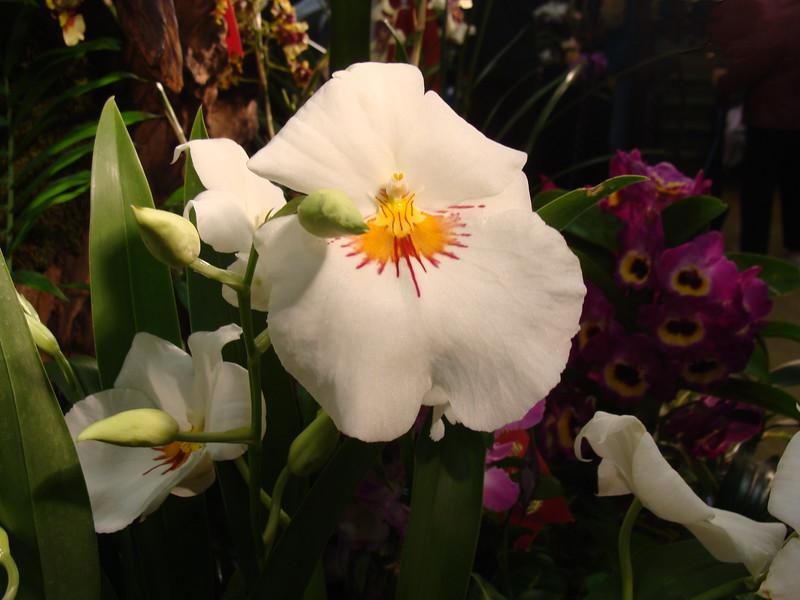 Lillian Nakamoto Miltonia Orchid