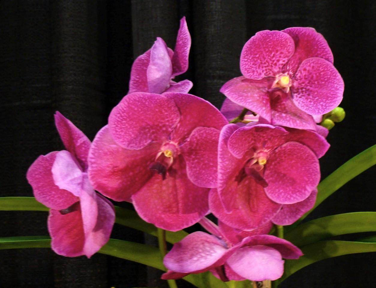 Vanda Pat Delight Orchid