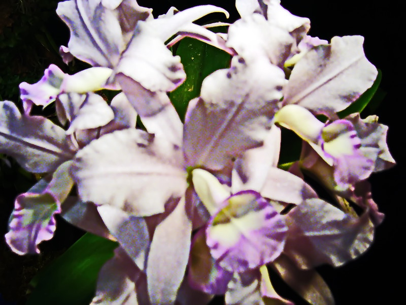 Pale Lavender Cattleya Orchids