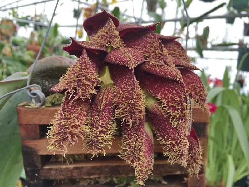 Bulbophylum phalaenopsis