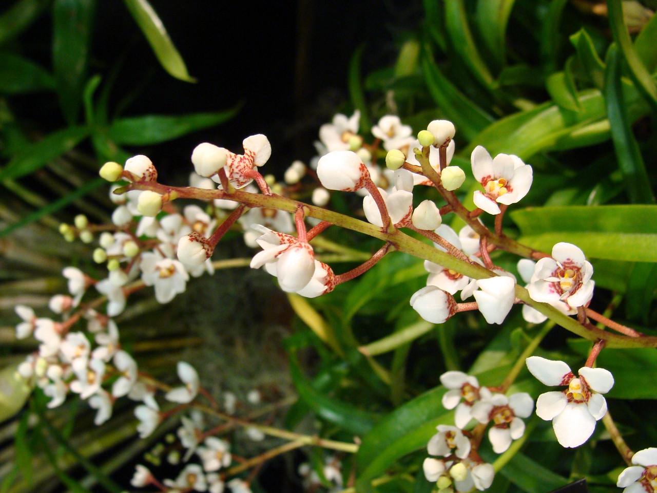 'Sonnenberg Gardens' Orchid