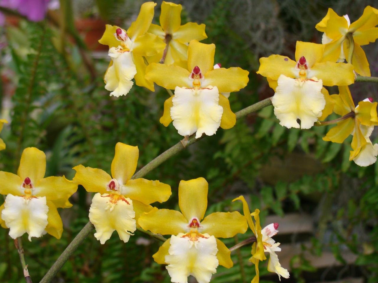 Sunlight Orchids