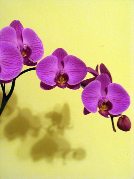 Dark Pink Phalaenopsis Orchid