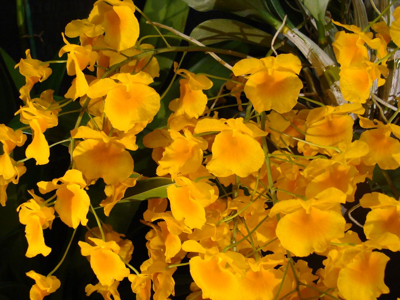 Fuller's Gold Stripe Phal. Orchid