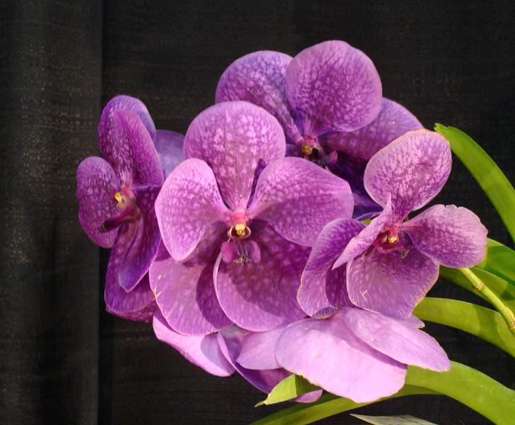Vanda John Daguia Orchid