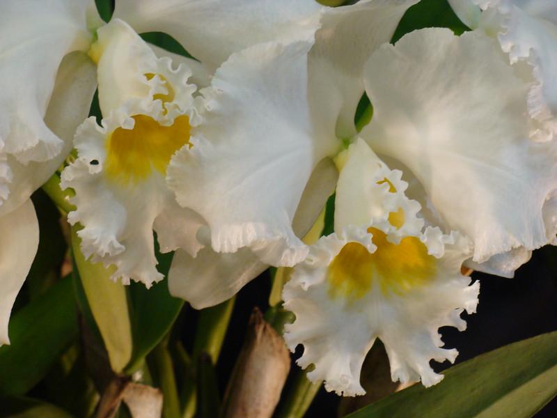 Jose Marti White Cattleya Orchid