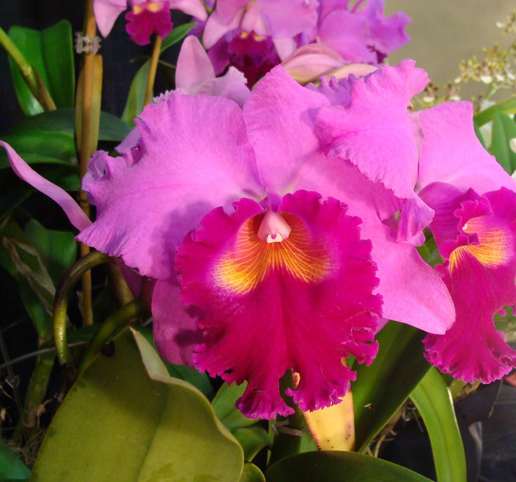 Hausermann's Holiday Christmas AMAC Cattleya Orchid