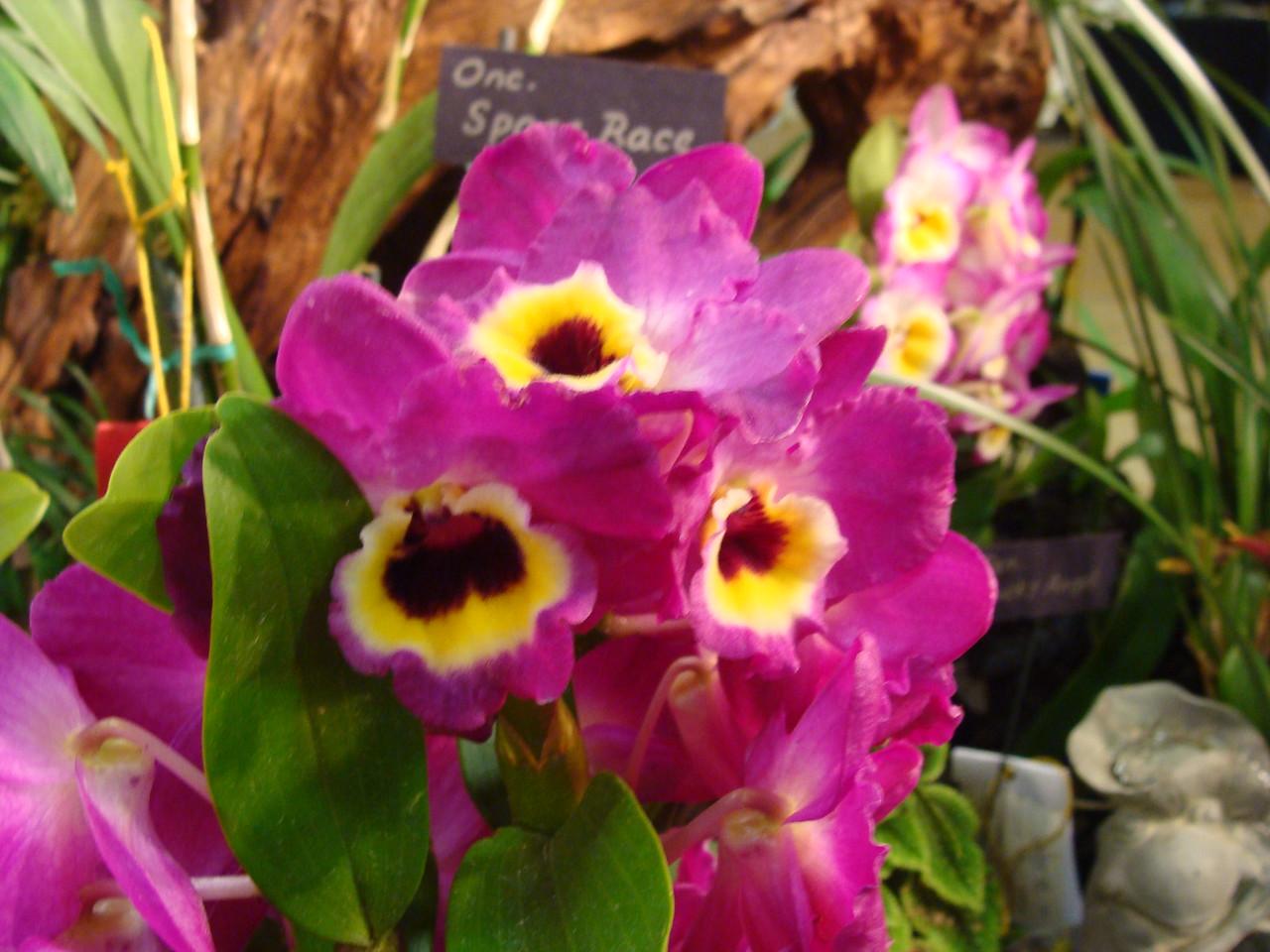Red Emperor Dendrobium Orchid