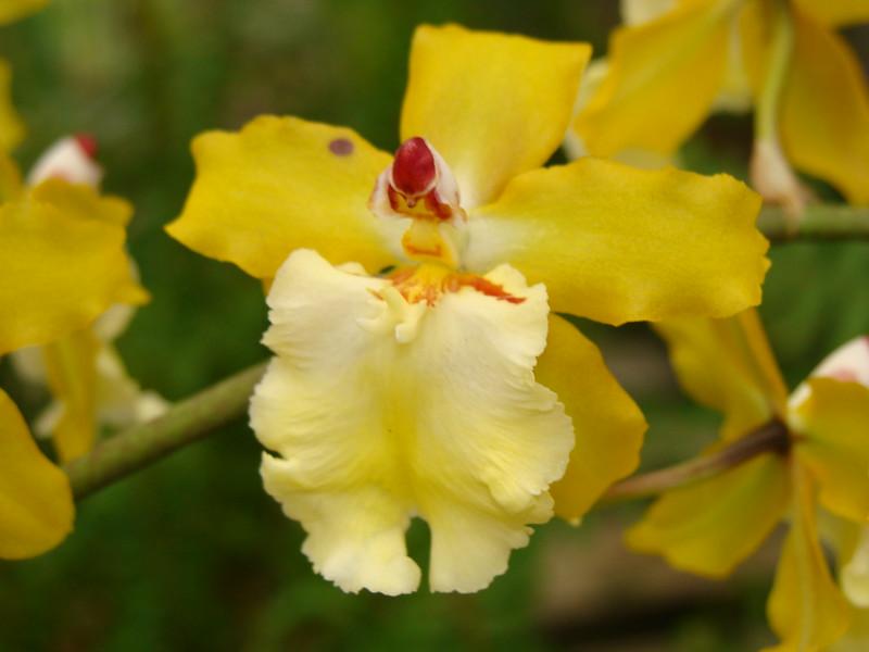 Sunlight Orchid