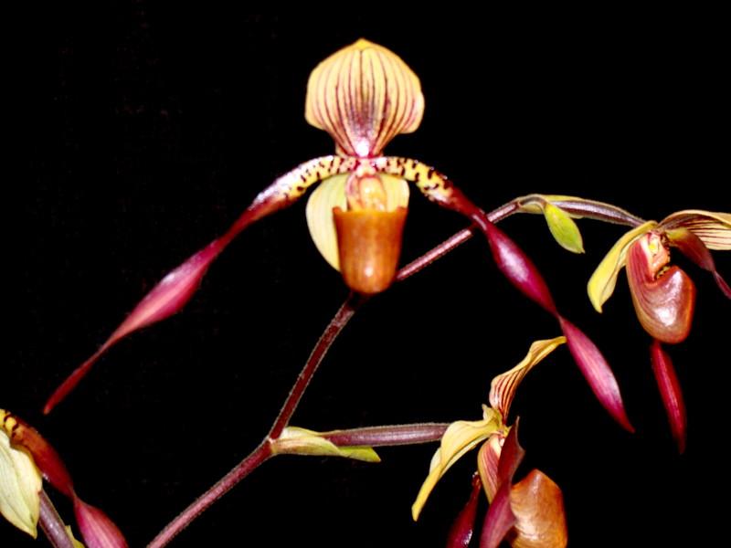 Paphiopedilum Bernice Orchid