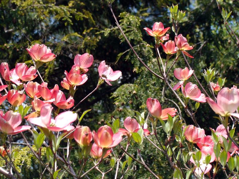 Pink Cornus Florida Dogwood Tree