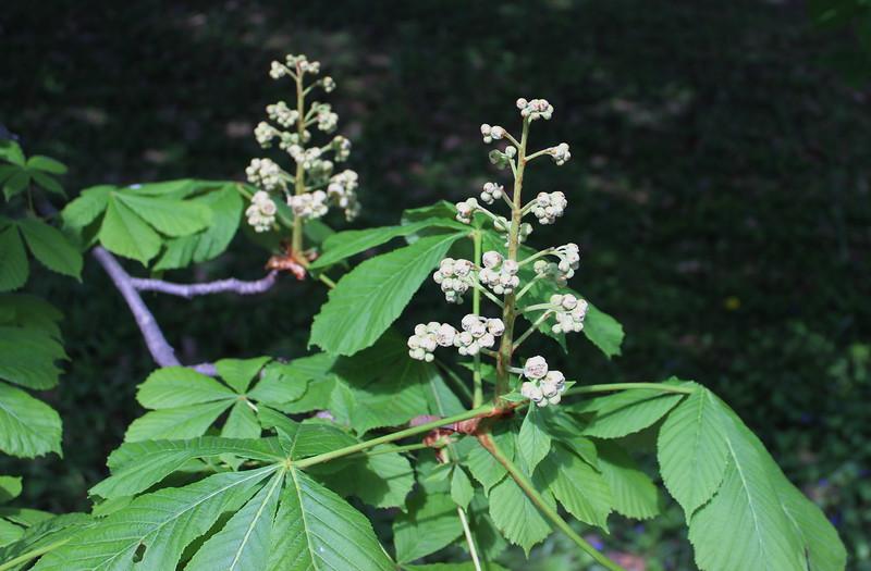 Double Flowering Horse Chestnut Tree