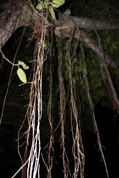 Banyan Tree Aerial Roots Close-up