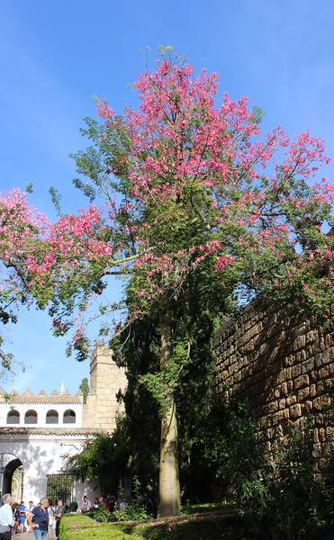 Pink Silk Floss Tree in the Entrance