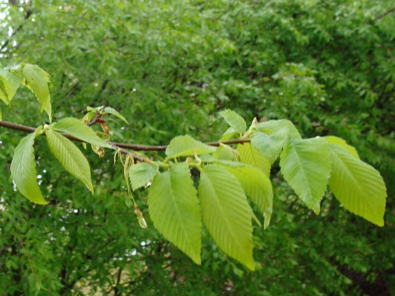 American Elm Tree Leaves