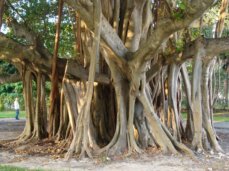 Banyan Tree Air Roots