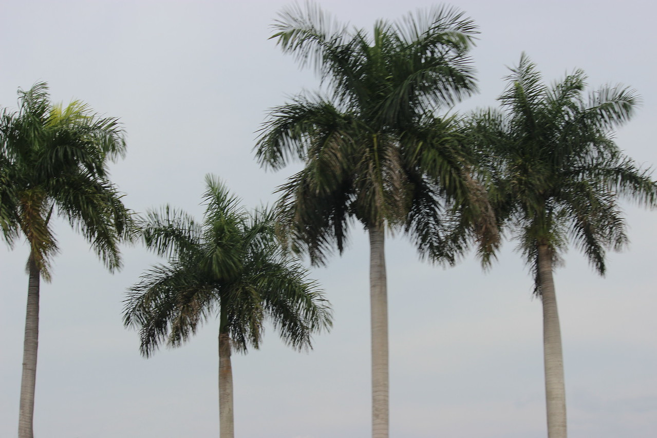 Royal Palm Trees