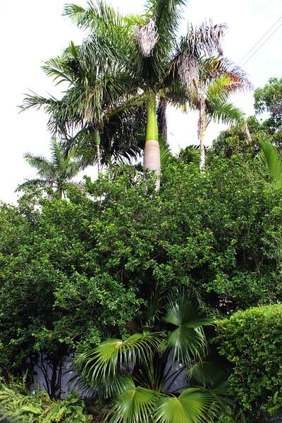 Royal Palm Tree and Night Blooming Jasmine