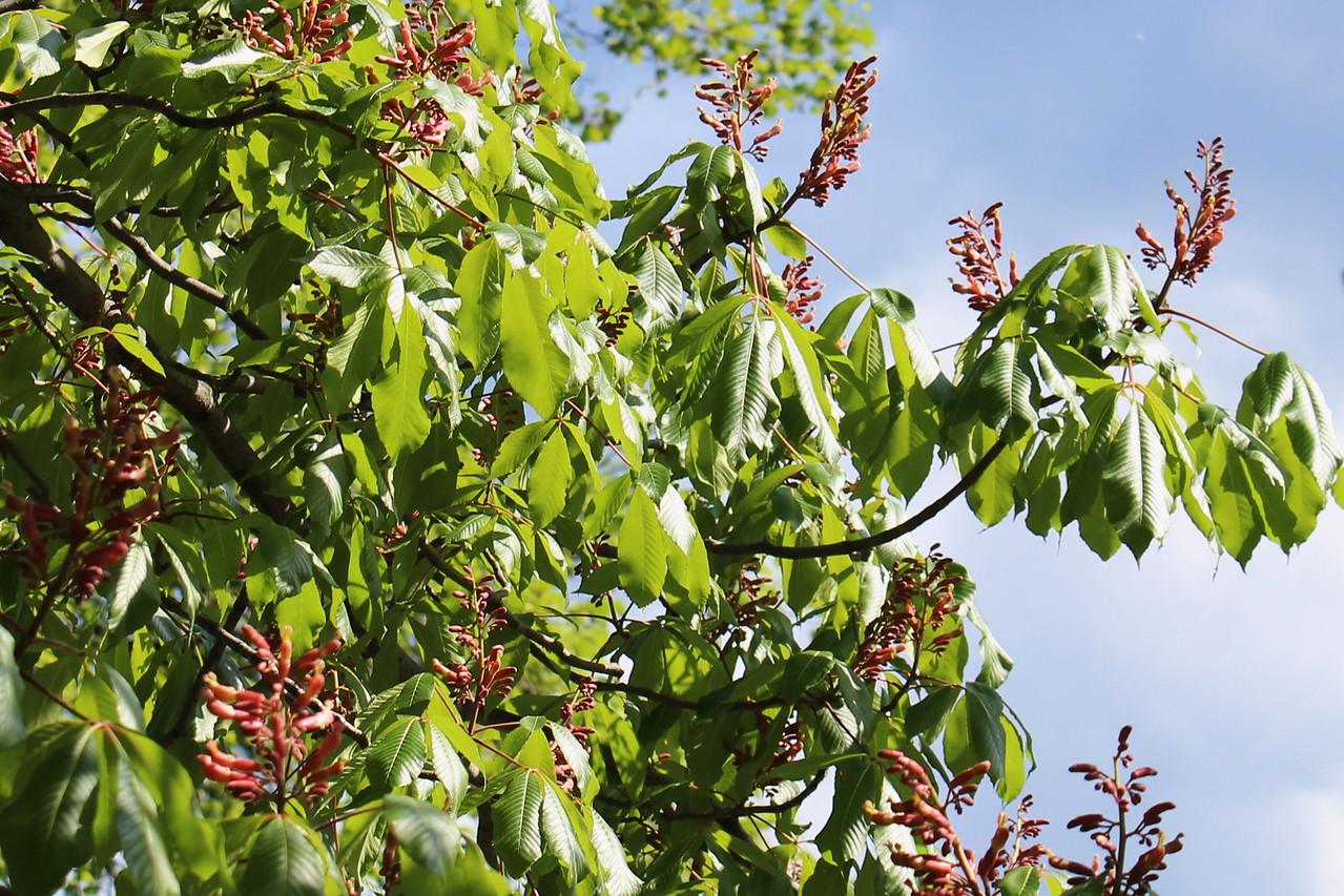 Ellwanger Buckeye Tree